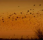 starlings murmuration